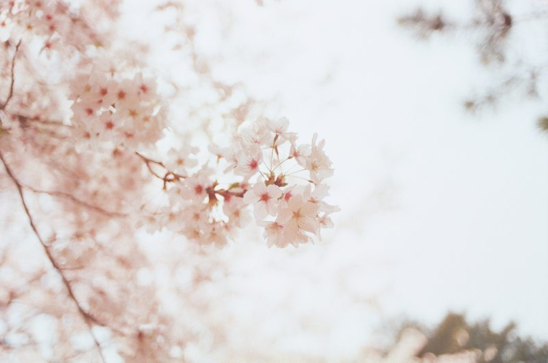 https://www.pexels.com/photo/selective-focus-photography-of-cherry-blossoms-1023953/