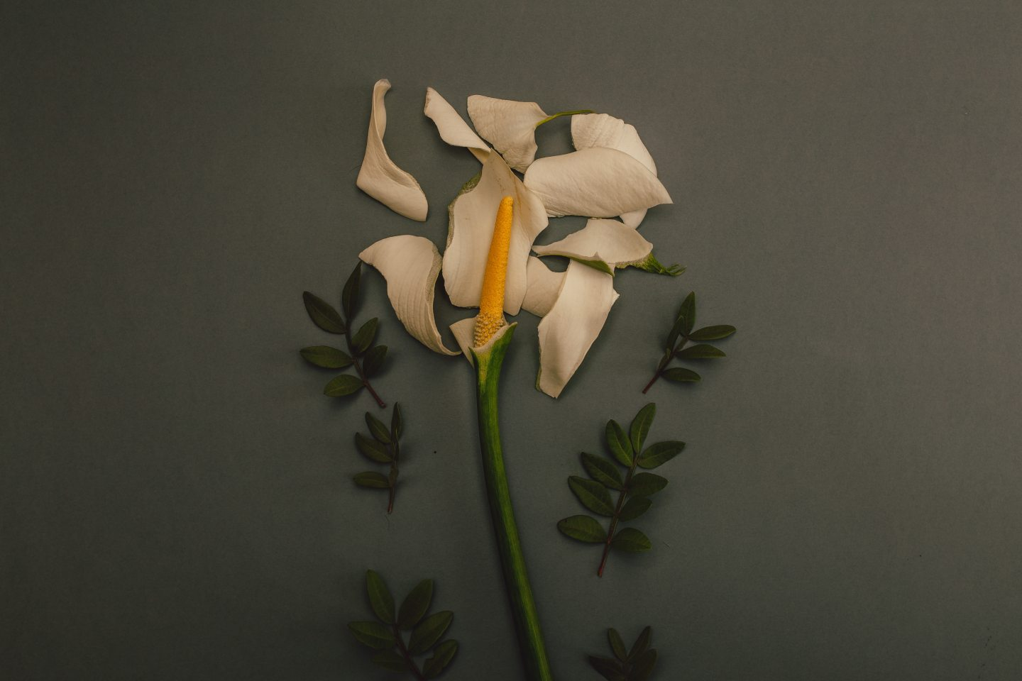 https://www.pexels.com/photo/white-flower-on-grey-background-922926/